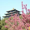 景山公园观春花