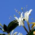 光影金银花