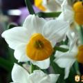 水仙花盛兰花幽香