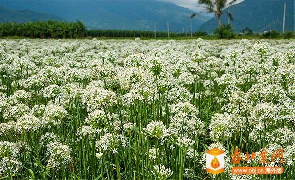 韭菜開花-2.jpg