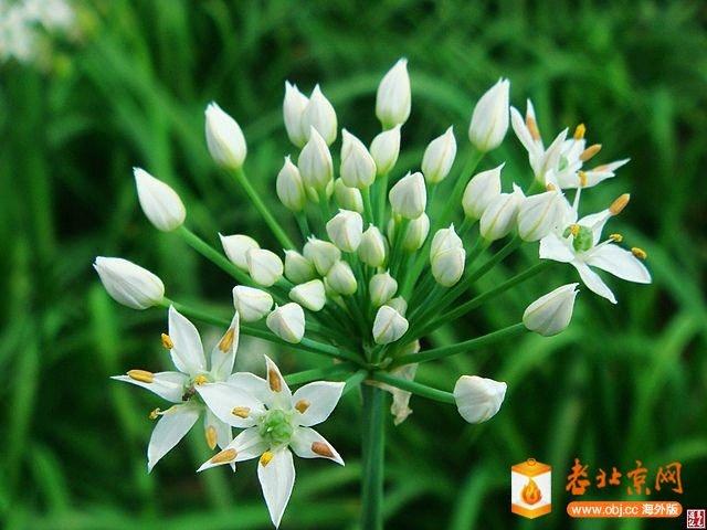 韭菜開花-3.jpg