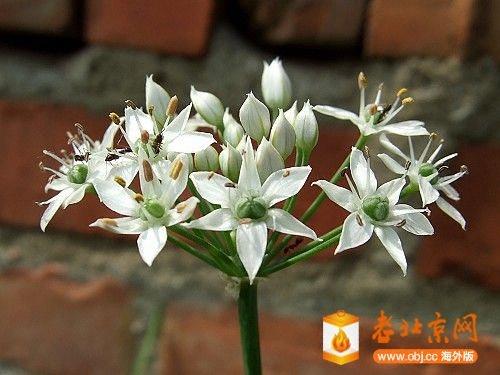 韭菜開花-4.jpg