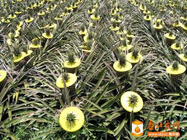 """* k"""" ^( U% `3 u. v; f. f 7 q- N! N l9 t( } n新品种的出现,是台湾菠萝产业在菠萝罐头没落后得以起死回生的重要关键,不仅让菠萝的口味更加多元,也让产季得以延长到全年四季。新品种菠萝的研究在日据时代就已经开始,现在还时常可以看见的释迦菠萝(4号)和苹果菠萝(6号)在昭和7年(1932年)时就已经在台北士林热带园艺所育成,不过当年的首要目标在菠萝罐头,所以并不特别受到注意。* z+ U!"""