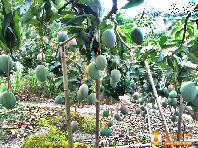 凱特芒果樹-1.jpg