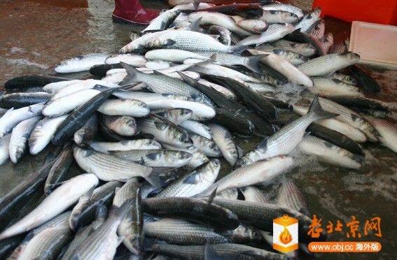 捕撈上岸的烏魚.jpg