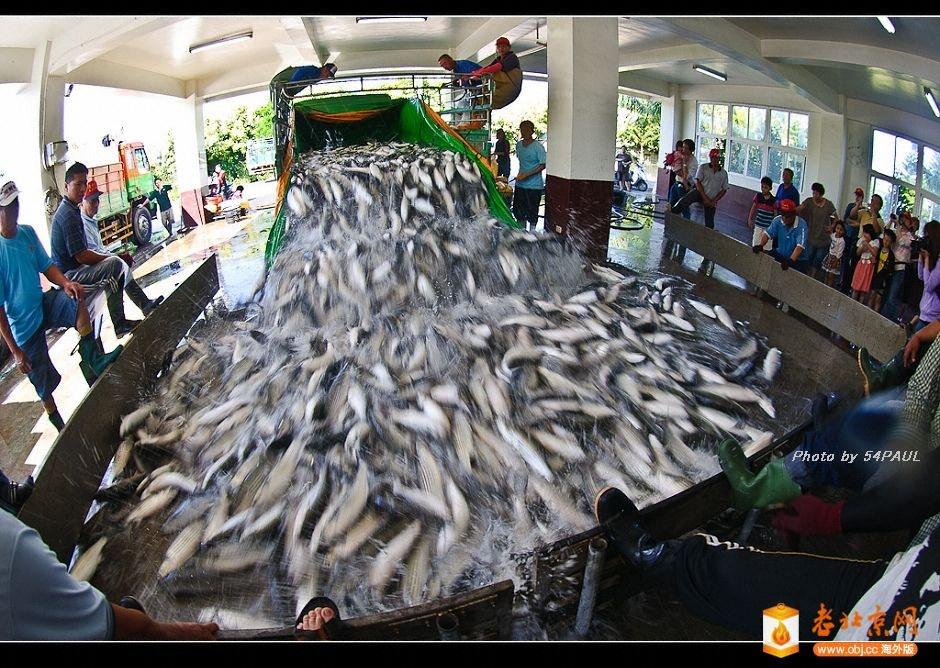 捕撈上岸的烏魚-1.jpg