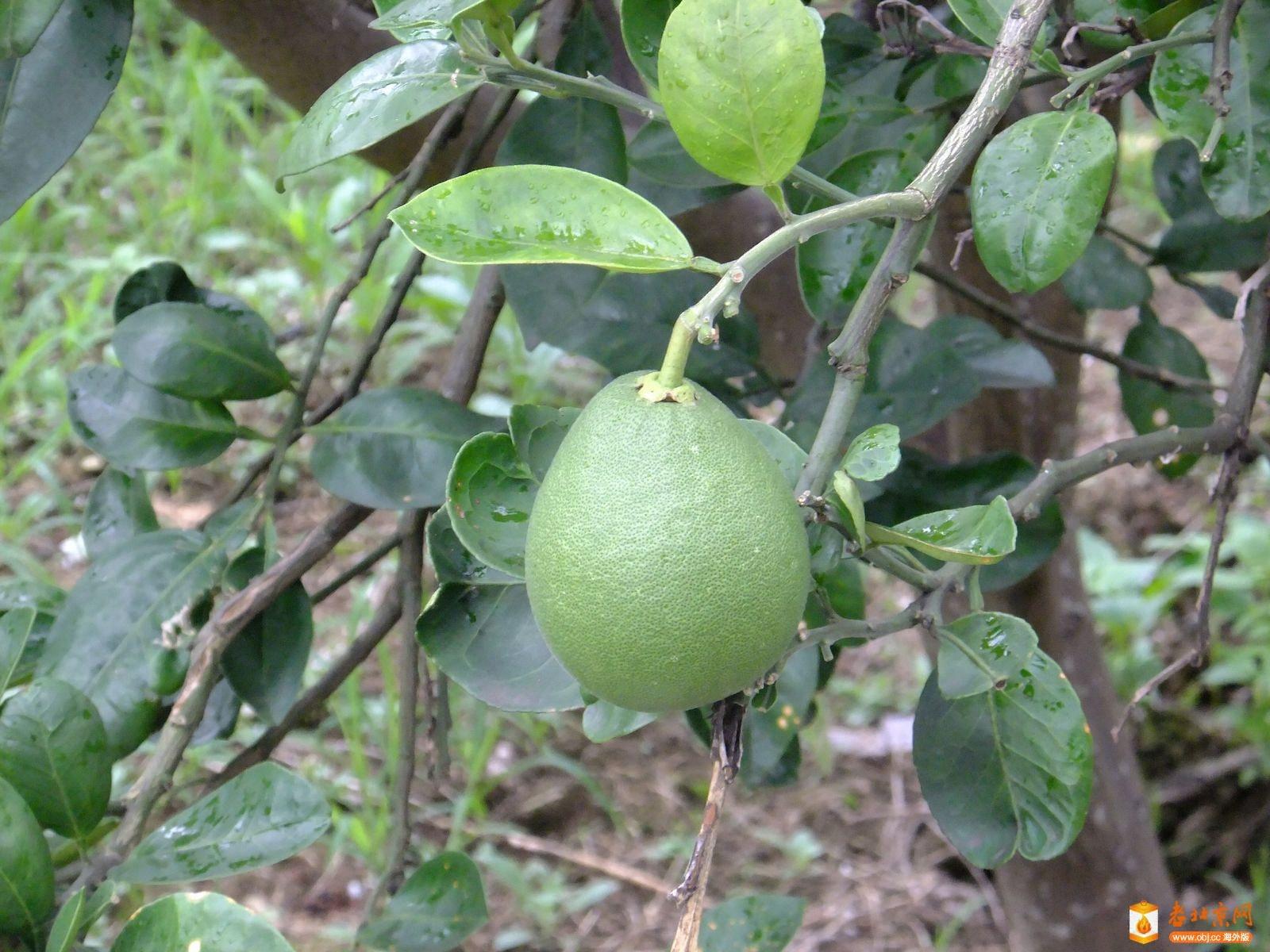 柚子做水果动物