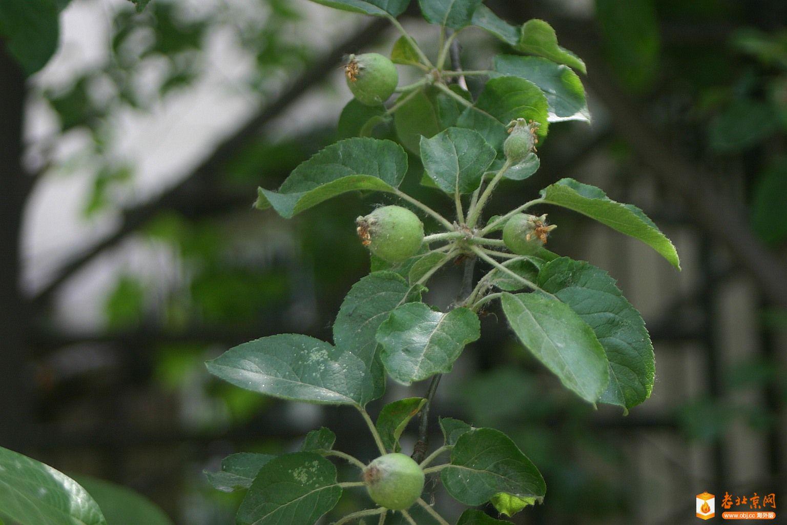 苹果树叶桌面壁纸