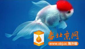 RE: 老北京的小金鱼