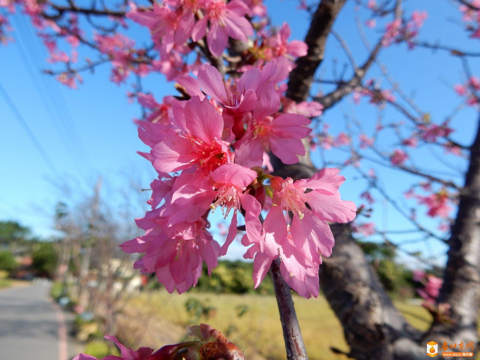 看到今年第一棵櫻花樹櫻花開放!