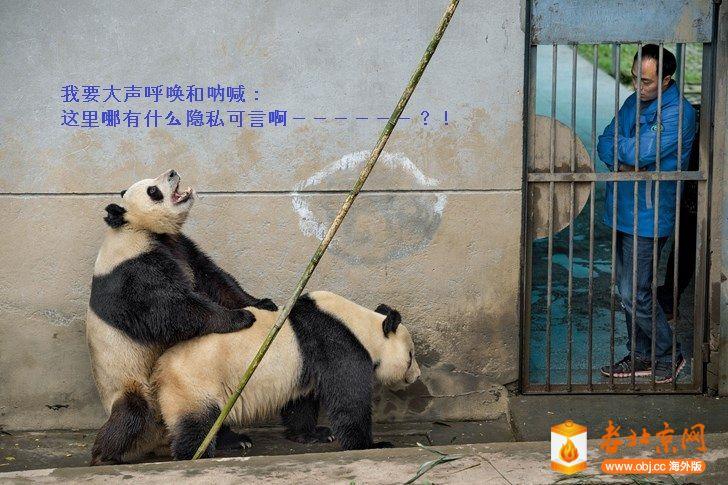 PandaMating.jpg