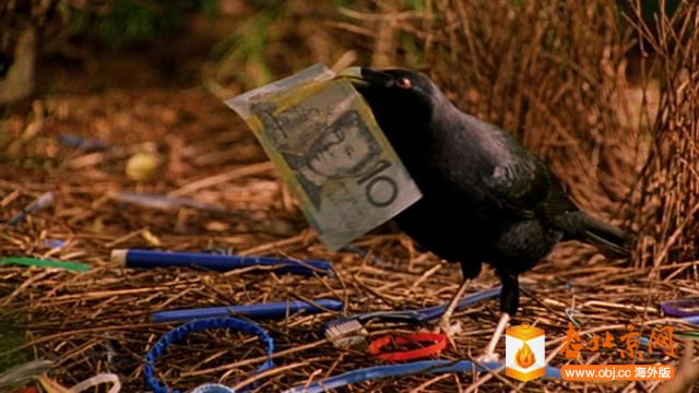 bowerbird.jpg