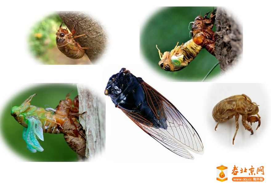 My_Childhood_Memory_Cicada.jpg
