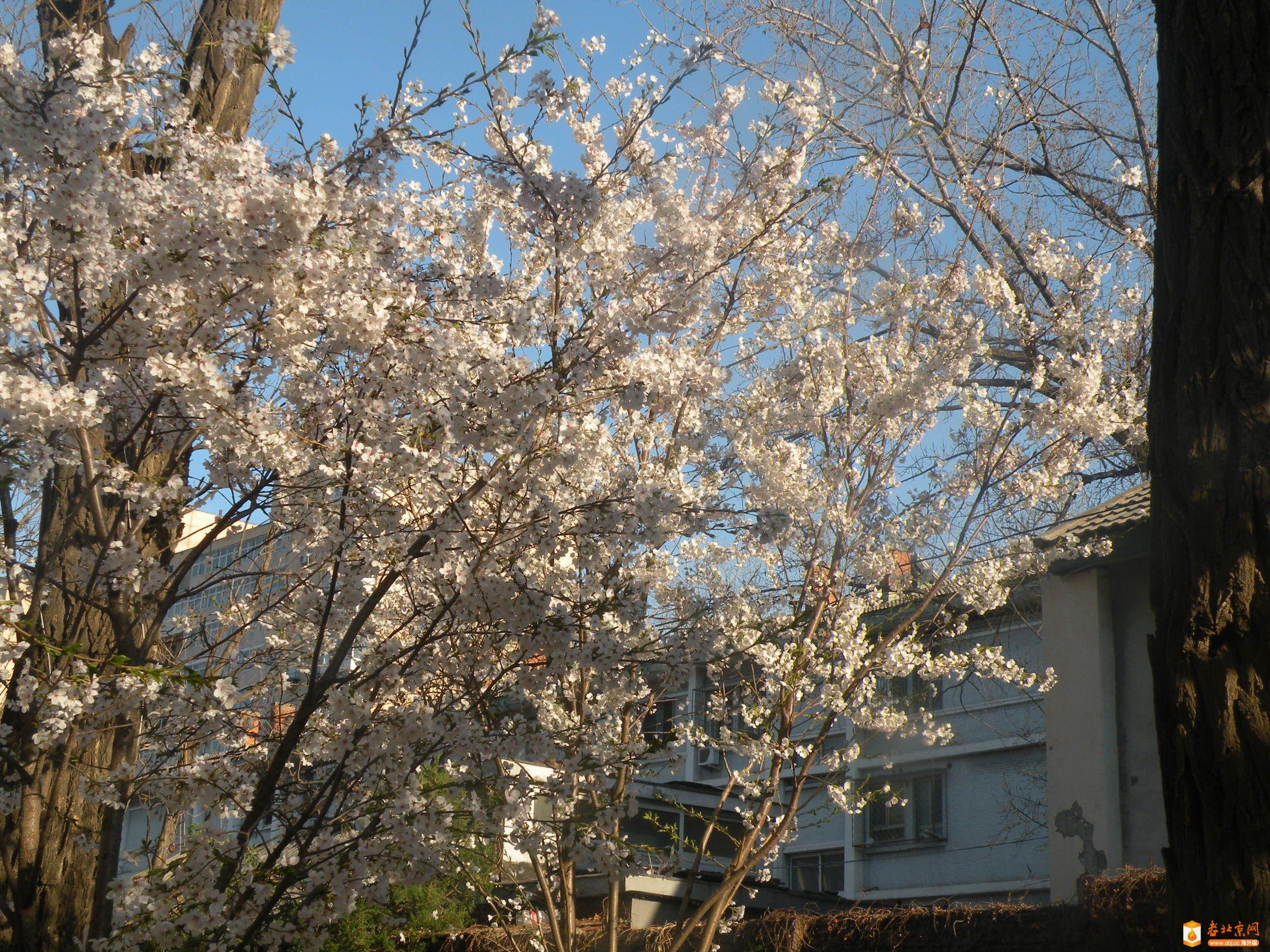 单瓣樱花1.JPG