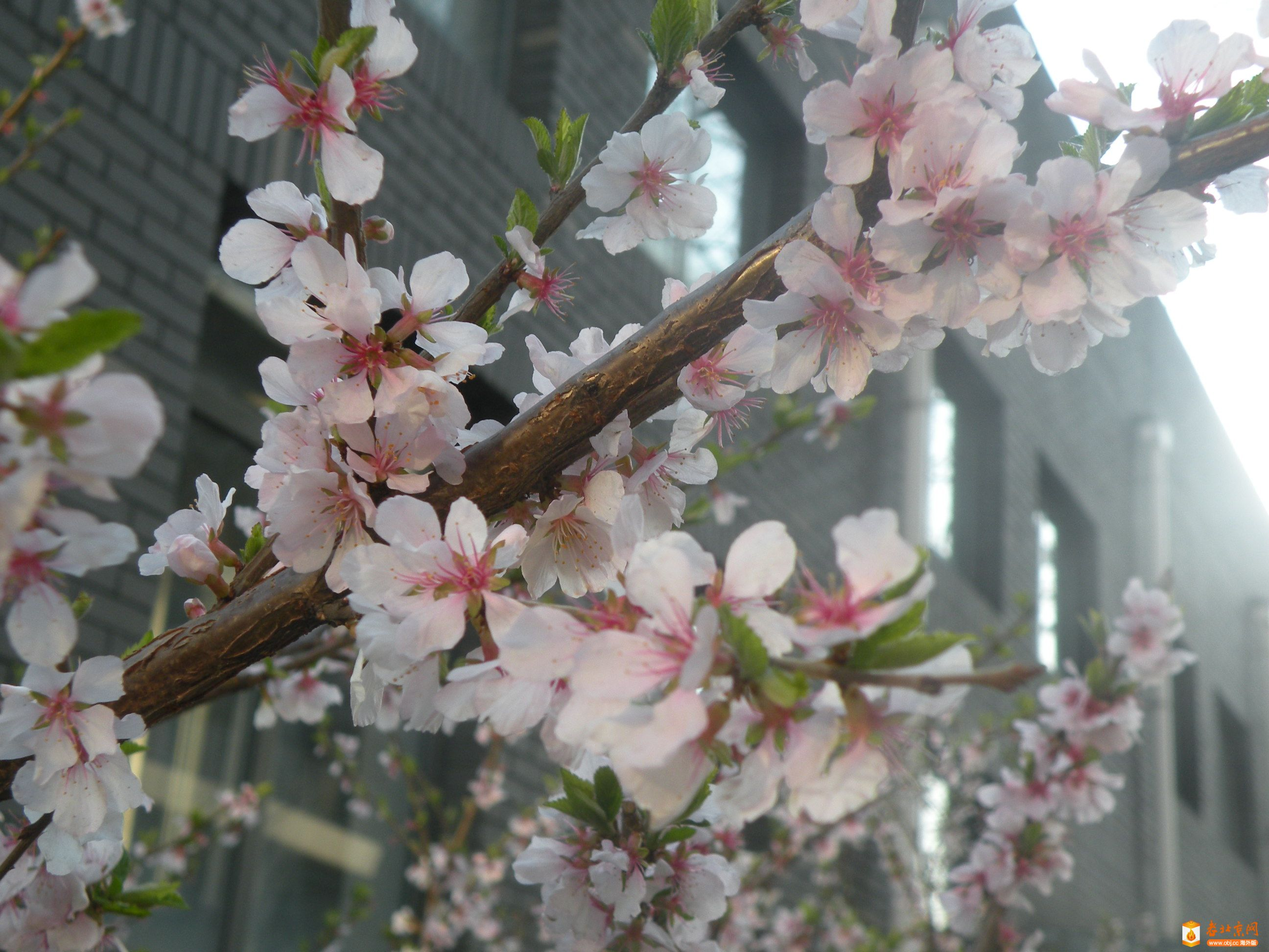 樱桃花4.JPG