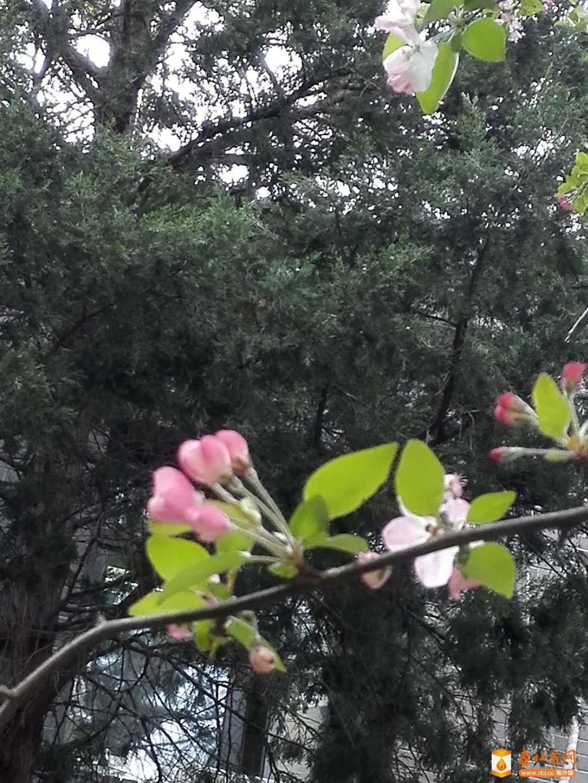 西府海棠含苞.jpg