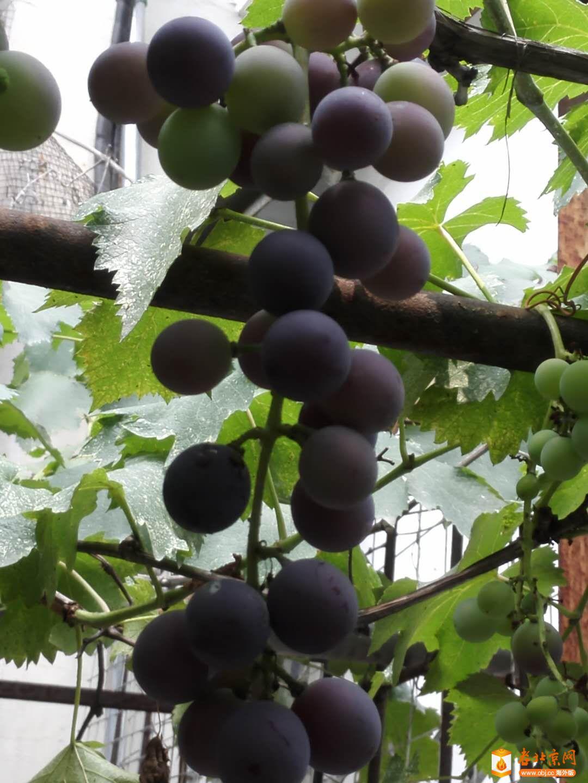 今年新葡萄成熟1.jpg