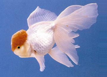 老北京的小金鱼
