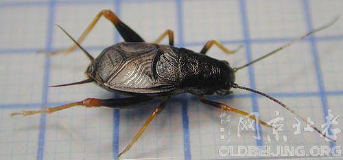 蟋蟀的分类及其特点-北京的动物