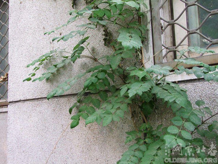 [求助]一种奇怪的多年生木本攀缘植物-北京的动物