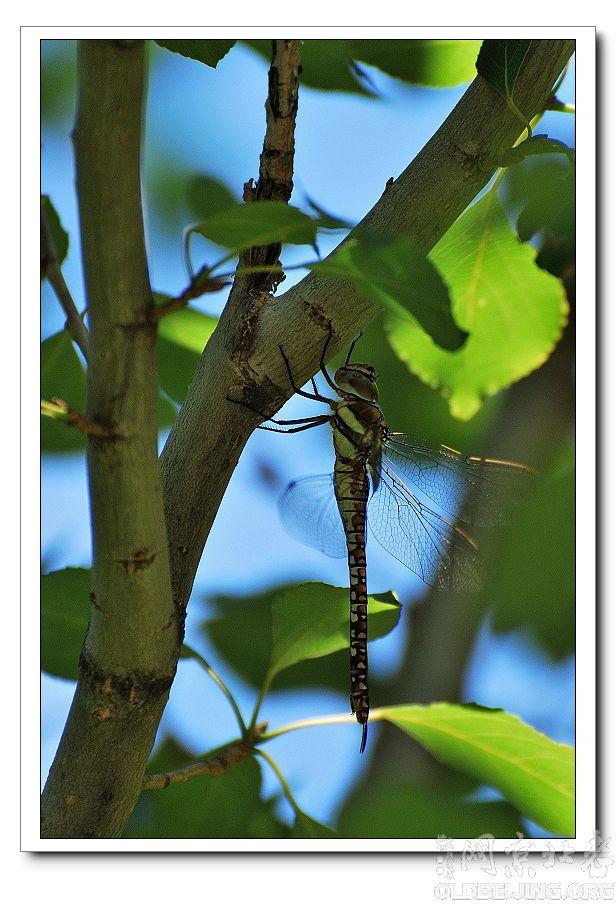 在云蒙山拍的蜻蜓和蝴蝶-北京的动物