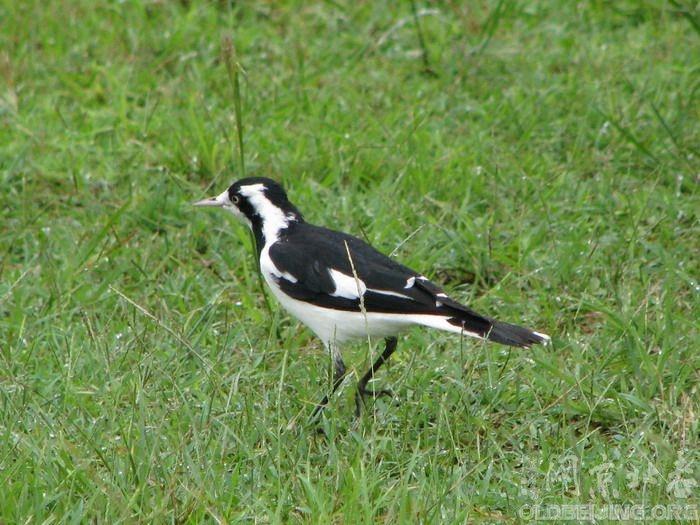 鹊鹨:易于辨认的黑白相间的鸟类,羽色略似钟鹊而体型小。雄鸟与雌鸟均为黑白相间,但是面部黑白纹路不同,幼鸟的纹路则介于雌雄鸟之间。腿较长,善于在陆地上奔跑。虽然可以在几乎任何栖息地见到,但尤其喜欢在近水地区活动,捕食陆地上或浅水中的昆虫、蜗牛等无脊椎动物。  g: J9 w6 i2 Y3 Y7 {7 ~ } 分布几乎遍及澳洲各地以及临近岛屿,并可见于新几内亚南部和蒂汶岛,在野外和城镇都能见到。 !
