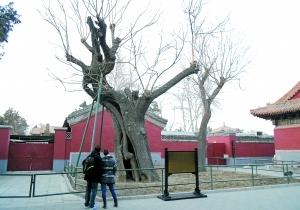 北京的十大古树
