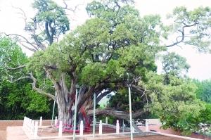 北京的古树名木有哪些