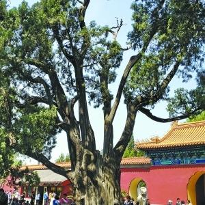 北京有哪些古树名木群